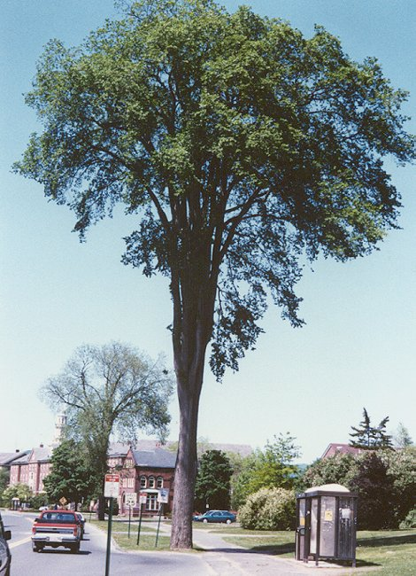 Saving the American Elm